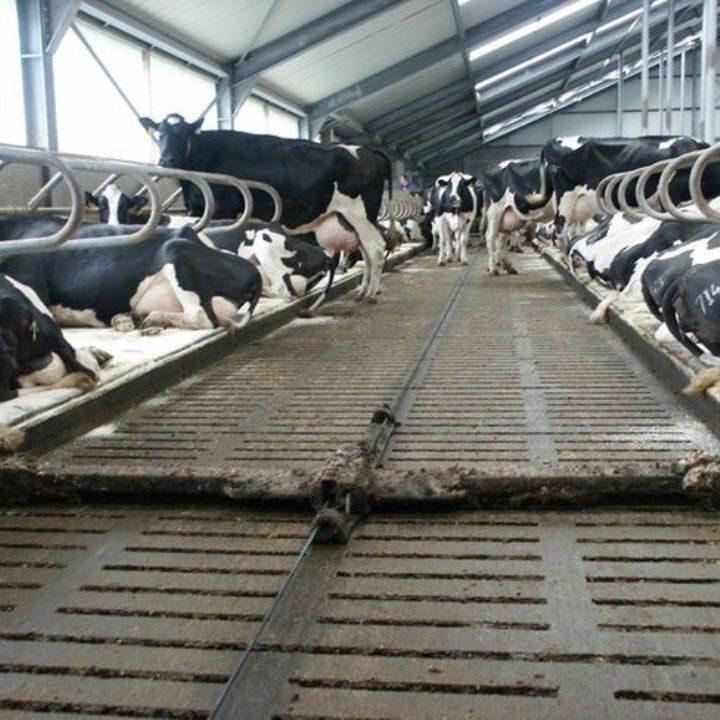 Gumeni pod za FARME | resetkasti | za tov BIKOVA | krava | Lezista